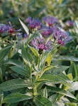 Centaurea montana - Mountain Blue (Bachelor's Button)
